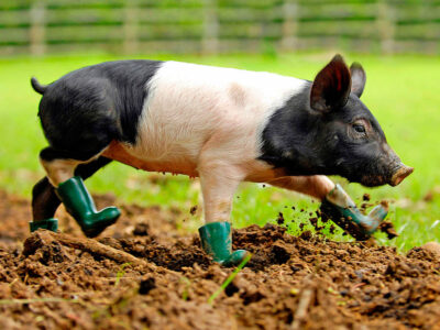 RPY_PIG_IN_BOOTS_JP01_950px by Jonathan Pow.